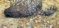 Free Beaded Lizard Royalty Free Stock Photos - 30627358