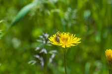Free Pollened Bee Royalty Free Stock Images - 30620959