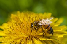 Free Pollened Bee Royalty Free Stock Photography - 30621187