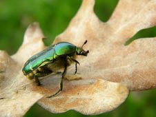 Free Green Bug On A Dry Leaf Stock Images - 30621694