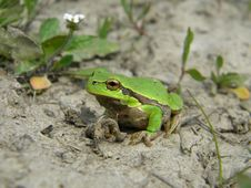 Free Tree Frog On Land Royalty Free Stock Photography - 30621707