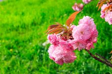 Free Pink Flowers Above Grass On Sakura Branches Stock Images - 30623734