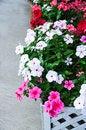 Free Catharanthus Roseus Stock Images - 30632884