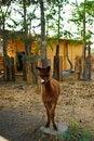 Free Llama Stock Photography - 30638172