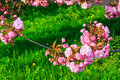 Free Pink Flowers Above Grass On Sakura Branches Royalty Free Stock Images - 30638449