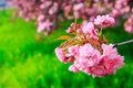 Free Pink Flowers Above Grass On Sakura Branches Stock Photography - 30638492