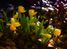 Free Small Flowers Daffodils Royalty Free Stock Photo - 30631085