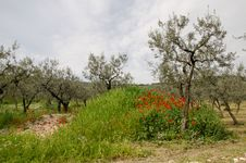 Umbria Uliveto In The Spring Royalty Free Stock Images
