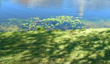 Water Lilies On A Pond Stock Image