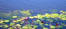 Water Lilies On A Pond Stock Photos
