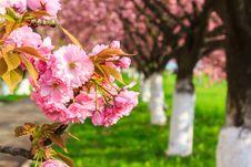 Free Pink Blossomed Sakura Flowers Stock Photos - 30638393