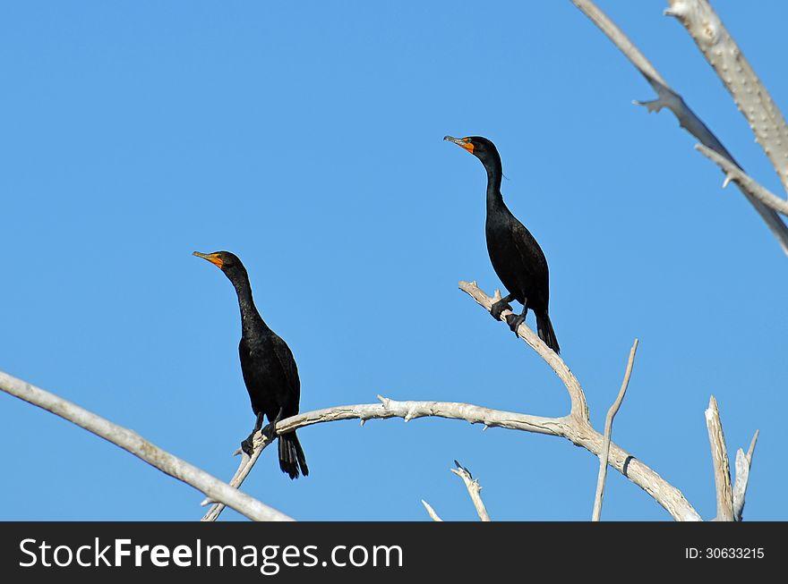 Double Crested Cormorant &x28;Phlcrocorax aunritus&x29;