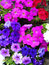 Free Closeup On Brightly Colored Petunias Royalty Free Stock Photos - 30635328