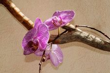 Free Orchid Royalty Free Stock Photography - 30643887