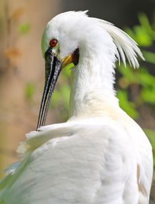 Spoonbill White Stock Images
