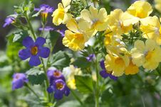 Free Yellow And Blue Flowers Stock Photo - 30647930