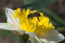 Free Bee On Narcissus Stock Photography - 30648292