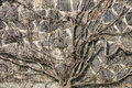 Free Roots On The Wall Royalty Free Stock Photo - 30655185