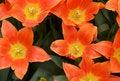 Free Blown Tulips Royalty Free Stock Photos - 30657818