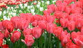 Free Tulips Royalty Free Stock Photography - 30658117
