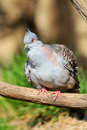 Free Crested Pigeon Royalty Free Stock Images - 30658399