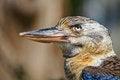 Free Laughing Kookaburra Blue-winged Royalty Free Stock Photos - 30659018