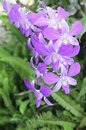 Free Purple Orchid Stock Image - 30659591