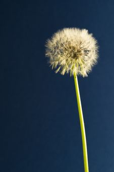 Free Taraxacum Officinale Stock Photos - 30651823