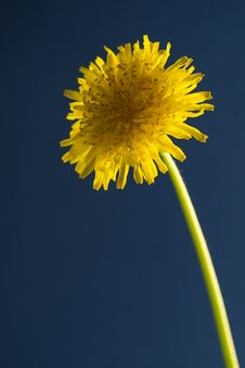 Free Taraxacum Officinale Stock Images - 30651874