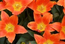 Blown Tulips Royalty Free Stock Photos