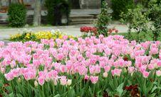 Free Tulips Stock Photos - 30657943