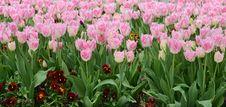 Free Tulips Royalty Free Stock Photo - 30657945