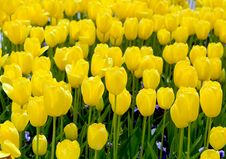 Free Tulips Stock Photo - 30657990