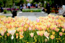 Free Tulips At Park Stock Images - 30658024