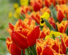Free Davenport Tulips Stock Photography - 30658042