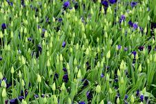 Free Tulip Buds Stock Image - 30658111