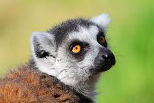 Lemur Catta Royalty Free Stock Photos
