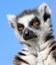 Free Lemur Catta Stock Photo - 30658230
