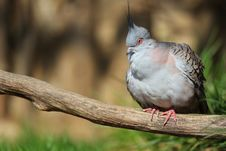 Free Crested Pigeon Royalty Free Stock Images - 30658349
