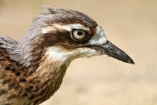 Free Stone Curlew Stock Photo - 30658760