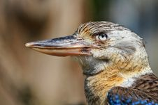 Free Laughing Kookaburra Blue-winged Royalty Free Stock Photos - 30659018
