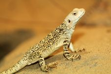 Free Agama Stock Photos - 30659393