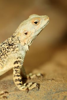 Free Agama Stock Photos - 30659493
