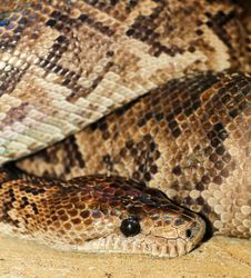 Free Python Stock Photo - 30659870