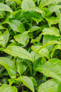 Free Green Tea Leaves Royalty Free Stock Image - 30665806