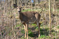 Free White-tail Deer Stock Photography - 30669712