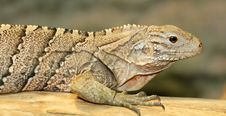 Cuban Iguana Royalty Free Stock Photography