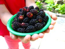 Free Ripe Dark Berries Of A Mulberry On Plate Stock Photo - 30660130