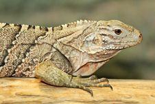 Free Cuban Iguana Stock Image - 30660171