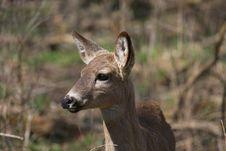 Free White-tail Deer Stock Image - 30669671